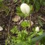 Anemone De Caen in Bud 04.08 (Anemone coronaria)