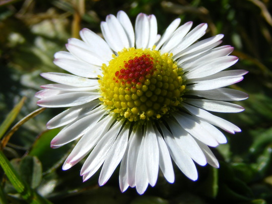 Daisy (Day's Eye)