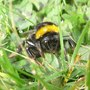 My first Bumblebee pic of the year.
