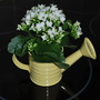 Succulent in watering can..... (Kalanchoe)
