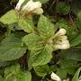 White Comfrey ..... Garden Thug 04.08