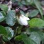 White_violet