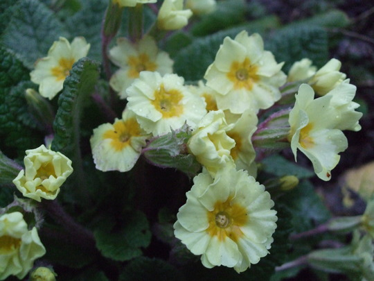 Clump of primroses.