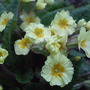 Clump_of_primroses