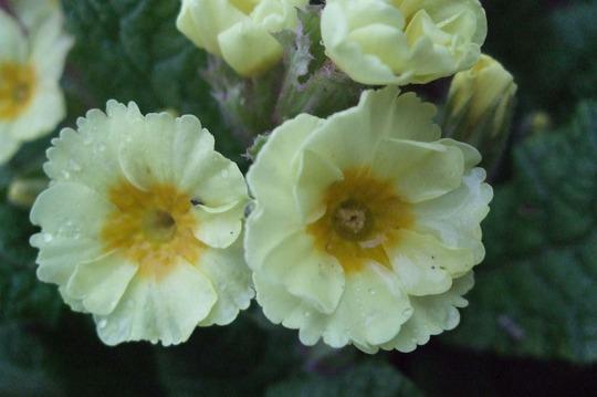 Double primroses.
