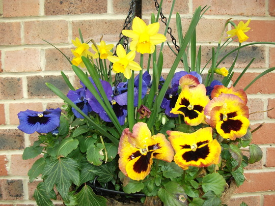 Pansies and Little Gem and Tete e Tete daffs