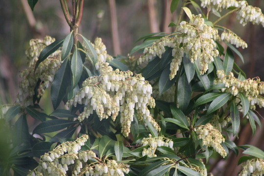 Pieris (Pieris japonica (Lily of the valley bush))