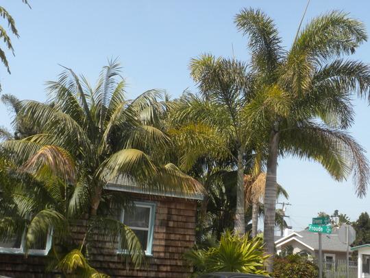 Howea fosteriana - Kentia Palms, Thinax radiata - Florida Thatch Palm and Wodyetia bifurcata - Foxtail Palms (Howea fosteriana - Kentia Palms, Thinax radiata - Florida Thatch Palm and Wodyetia bifurcata - Foxtail Palms)