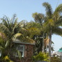 Howea fosteriana - Kentia Palms, Thinax radiata - Florida Thatch Palm and Wodyetia bifurcata - Foxtail Palms (Howea fosteriana - Kentia Palms, Thinax radiata - Florida Thatch Palm and Wodyetia bifurcata - Foxtail Palms)