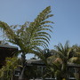 Coccothrinax argentata - Silver Thatch Palm, Caryota gigas - Giant Fishtail Palm, Howea fosteriana - Kentia Palm (Coccothrinax argentata - Silver Thatch Palm, Caryota gigas - Giant Fishtail Palm, Howea forsteriana - Kentia Palm)