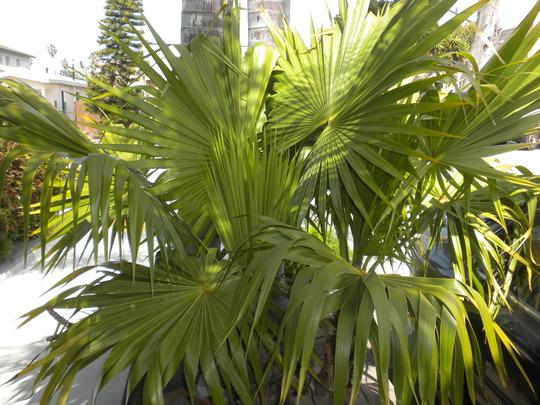 Thrinax radiata - Florida Thatch Palm (Thrinax radiata - Florida Thatch Palm)