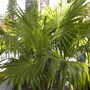 Thrinax radiata - Florida Thatch Palm (Thrinax radiata - Florida Thatch Palm)