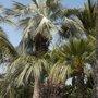 Brahea armata - Mexican Blue Palm , Butia capitata - Jelly Palm, Chamaerops humilis - Mediterranean Fan Palm (Brahea armata - Mexican Blue Palm , Butia capitata - Jelly Palm, Chamaerops humilis - Mediterranean Fan Palm)