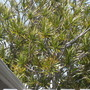 Dracaena marginata - Madagascar Dragon Tree (Dracaena marginata - Madagascar Dragon Tree)