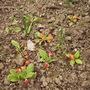 Double Primulas 04.08 (Primula belarina 'Nectarine')
