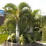 Hyophorbe verschaffeltii - Spindle Palms (Hyophorbe verschaffeltii - Spindle Palms)