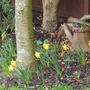 Spring Daffs at Taffs.....