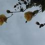 Sea Hibiscus before a storm (Hibiscus tiliaceus (Bama))