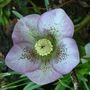 Helleborus ... Pretty in pink .....