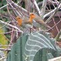 Mr_and_mrs_robin_002