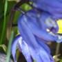 Bluebell.......