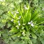 Tasty Bluebells ? 04.08 (Hyacinthoides hispanica)
