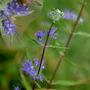 BLUE SHRUB anonymous (Caryopteris x clandonensis (Caryopteris))