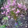 Daphne (Daphne mezereum (Dafne))