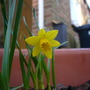 Mini Daffs