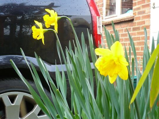 First  Daffs to flower Yeahhh...