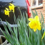 First  Daffs to flower Yeahhh...