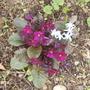 Wanda Primula & Chinodoxia 04.08 (Primula)