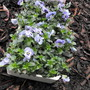 Some New Lilac Violas for my garden :)