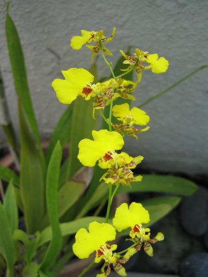 Golden Shower Orchid (oncidium golden shower)