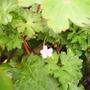 wild_geranium.jpg