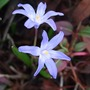 Chionodoxa (Chionodoxa luciliae (Glory of the snow))