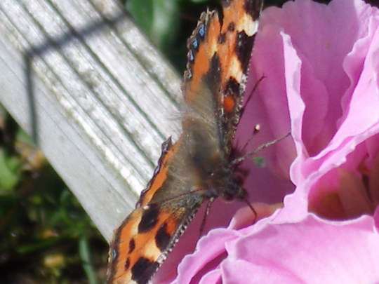 Butterfly  today