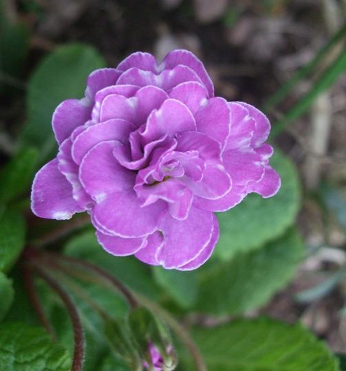 Double primrose 'Marie Crousse' (Primula)