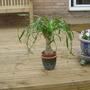 My bargain find (Beaucarnea recurvata (Ponytail Palm))