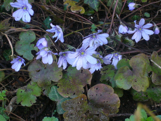 Tatty leaves but pretty flowers. (Hepatica transsilvanica)