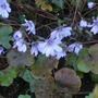 Tatty leaves but pretty flowers. (Hepatica transsilvanica)