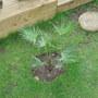 Trachycarpus in Tropical 'project' area