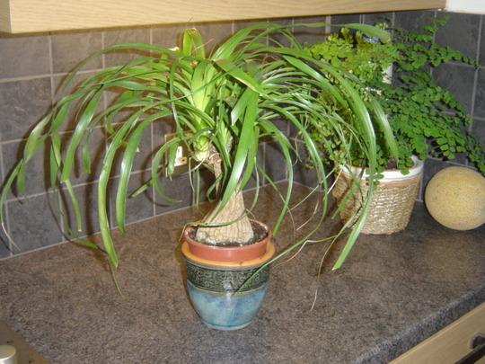Ponytail Palm on worktop (Beaucarnea Recurvata)