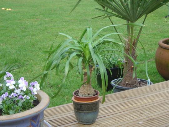 Palm on Decking (Beaucarnea recurvata (Ponytail Palm))
