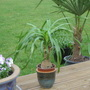 Palm on Decking (Beaucarnea recurvata (Ponytail Palm))