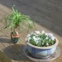 Palm on Decking with Violas (Beaucarnea recurvata (Ponytail Palm))