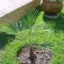 Trachycarpus number 2 (Trachycarpus Wangeiranus)