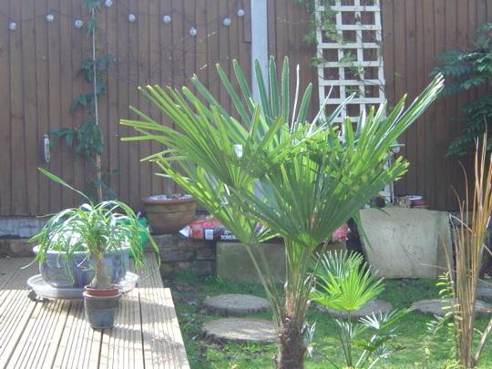 Trachycarpus Fortunei 'bargain' (so I told 'im indoors)