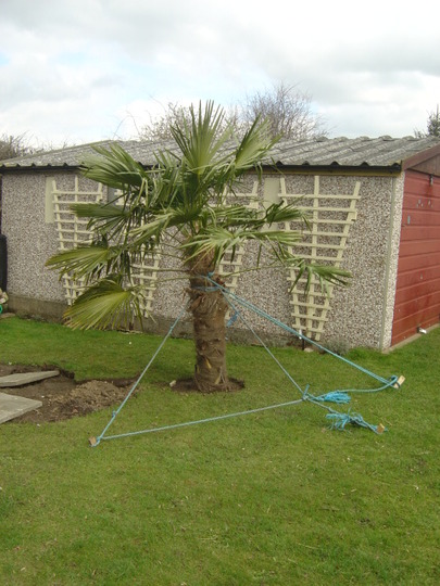 Anyone ever moved a Trachycarpus Fortunei? I have, now.
