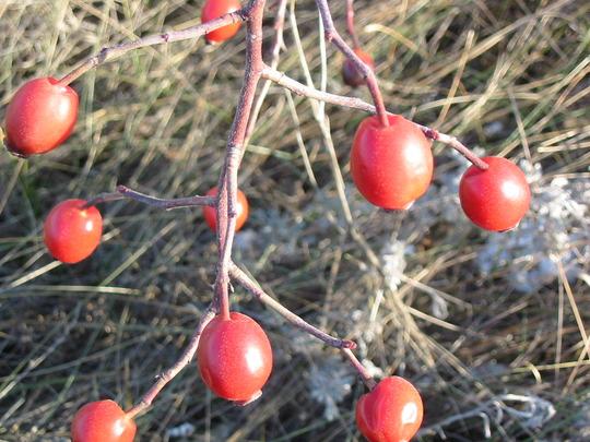 Fruits of Rosa (Rosa cinnamomea)